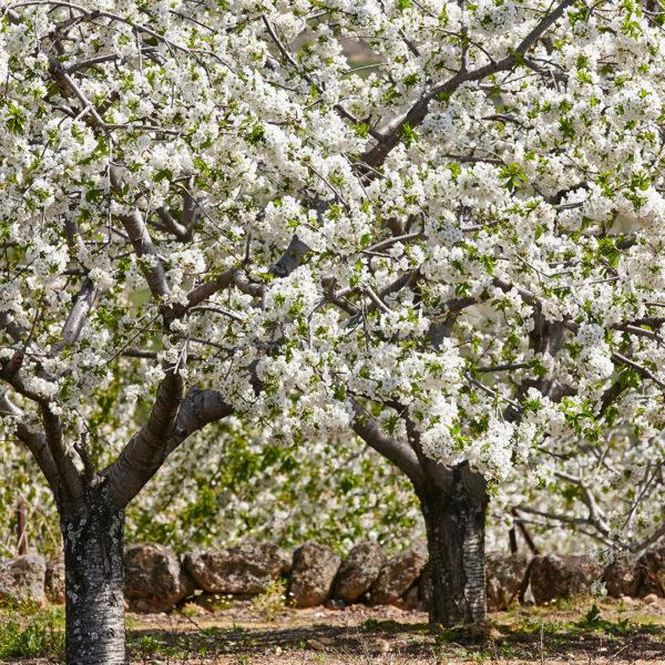 cerezo en flor valle del jerte extremadura